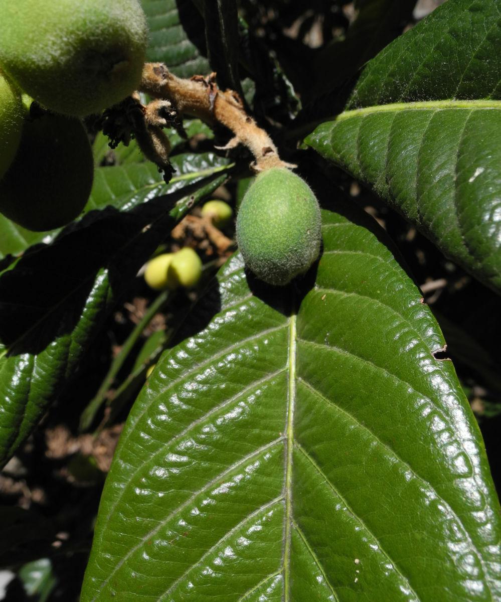 Japanische Wollmispel Frucht gruen Eriobotrya japonica