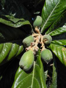 Japanische Wollmispel Frucht gruen Eriobotrya japonica 02