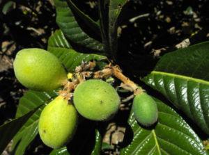 Japanische Wollmispel Frucht gruen Eriobotrya japonica 06
