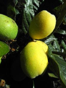 Japanische Wollmispel Frucht orange Eriobotrya japonica 04