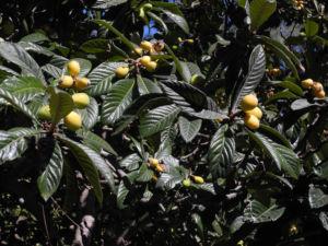 Japanische Wollmispel Frucht orange Eriobotrya japonica 12