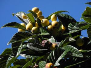 Japanische Wollmispel Frucht orange Eriobotrya japonica 13