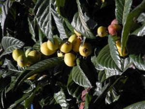 Japanische Wollmispel Frucht orange Eriobotrya japonica 14