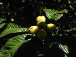 Japanische Wollmispel Frucht orange Eriobotrya japonica 25