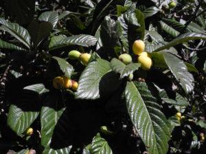 Japanische Wollmispel Frucht orange Eriobotrya japonica 27