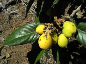 Japanische Wollmispel Frucht orange Eriobotrya japonica 28
