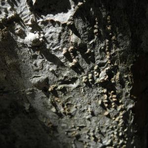 Japanische Wollmispel Rinde grau Eriobotrya japonica 01