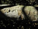 Japanische Wollmispel Rinde grau Eriobotrya japonica 02