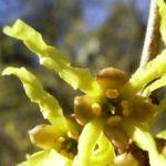 Japanische Zaubernuss Hamamelis japonica 02