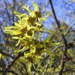 Japanische Zaubernuss Hamamelis japonica 04