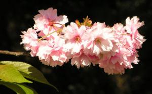 Japanische Zierkirsche Bluete rose Prunus serrulata 02