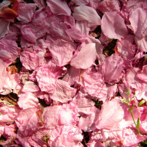 Bild: Japanische Zierkirsche Bluete rose Prunus serrulata