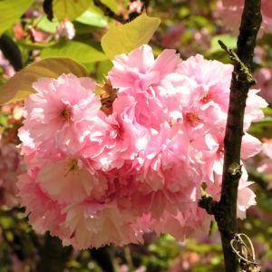 Japanische Zierkirsche Bluete rose Prunus serrulata 06