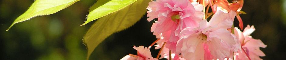 japanische-zierkirsche-bluete-rose-prunus-serrulata