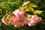 Japanische Zierkirsche Bluete rose Prunus serrulata 08