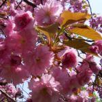 Japanische Zierkirsche rosa Bluete Prunus serrulata 01