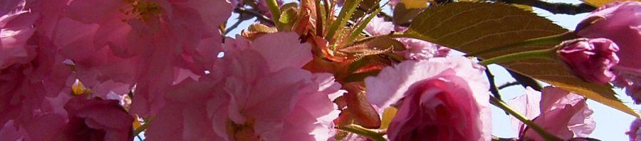 Anklicken um das ganze Bild zu sehen Japanische Blütenkirsche Blüte rosafarben Prunus serrulata