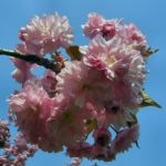 Japanische Zierkirsche rosa Bluete Prunus serrulata 04
