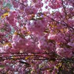 Japanische Zierkirsche rosa Bluete Prunus serrulata 05