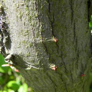 Japanische Zierquitte Bluete hellrot Chaenomeles japonica 18