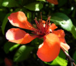 Bild: Japanische Zierquitte Blüte hellrot Chaenomeles japonica