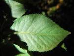 Japanische Zimterle Blatt gruen Clethra barbinervis 02