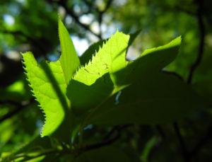 Japanische Zimterle Blatt gruen Clethra barbinervis 04