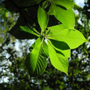 Japanische Zimterle Blatt gruen Clethra barbinervis 05