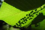 Japanische Zimterle Bluete weiß Clethra barbinervis 06