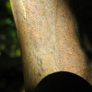 Japanische Zimterle Rinde braun Clethra barbinervis 02