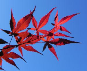 Japanischer Ahorn Baum Blatt rot Acer japonicum 02