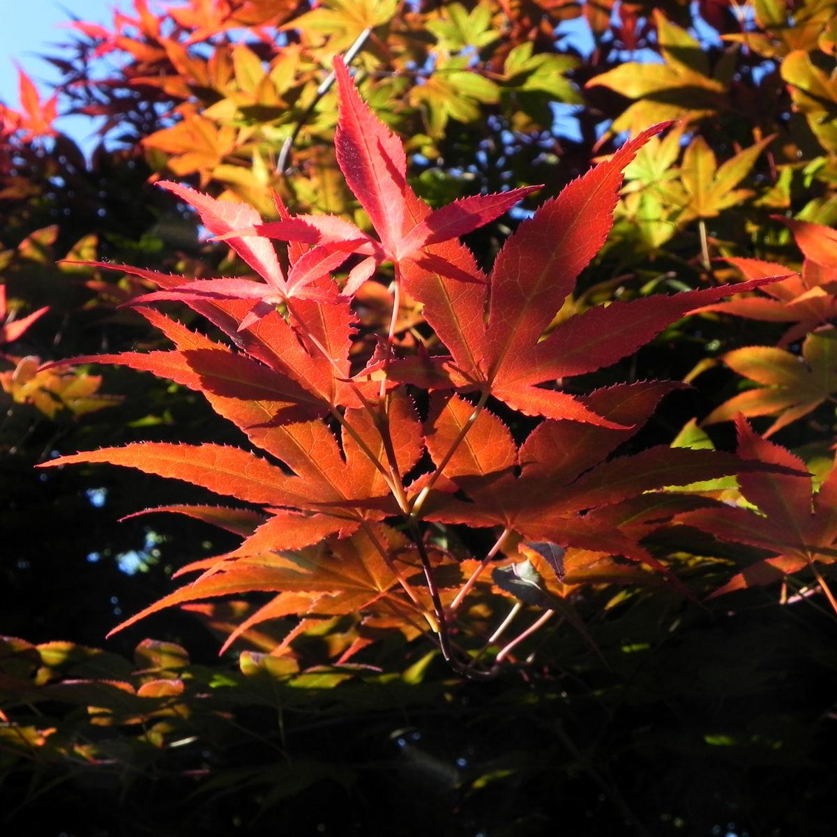 Japanischer Ahorn Baum Blatt rot Acer japonicum