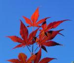 Bild: Japanischer Ahorn Baum Blatt rot Acer japonicum