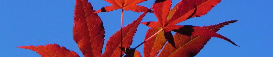 Anklicken um das ganze Bild zu sehen Japanischer Ahorn Baum Blatt rot Acer japonicum