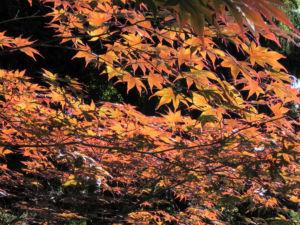 Japanischer Ahorn Baum Blatt rot Acer japonicum 21