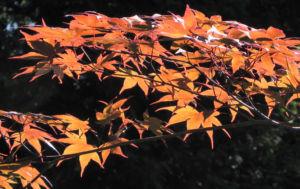 Japanischer Ahorn Baum Blatt rot Acer japonicum 22