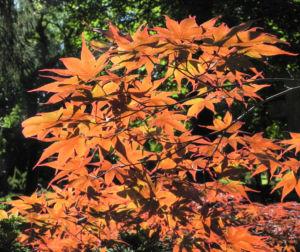 Japanischer Ahorn Baum Blatt rot Acer japonicum 25