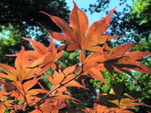 Japanischer Ahorn Baum Blatt rot Acer japonicum 27