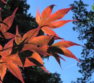 Japanischer Ahorn Baum Blatt rot Acer japonicum 28