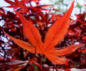Japanischer Ahorn Baum Blatt rot Acer palmatum 01