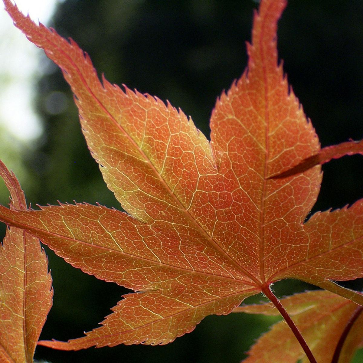 Japanischer Ahorn Baum Blatt rot Acer palmatum