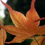 Japanischer Ahorn Baum Blatt rot Acer palmatum 04