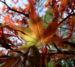 Zurück zum kompletten Bilderset Fächer-Ahorn Baum Blatt rot Acer palmatum