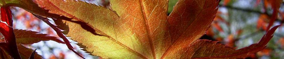 faecher-ahorn-baum-blatt-rot-acer-palmatum