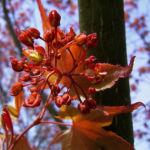Japanischer Ahorn Baum Blatt rot Acer palmatum 06