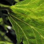Japanischer Ahorn Baum Rinde Blatt gruen Acer palmatum 17