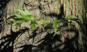 Japanischer Ahorn Baum Rinde Blatt gruen Acer palmatum 18