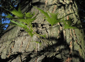 Japanischer Ahorn Baum Rinde Blatt gruen Acer palmatum 19