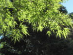 Bild: Japanischer-Ahorn Rinde braun Blatt grün Acer palmatum