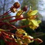 Japanischer Ahorn Bluete Acer japonicum 02